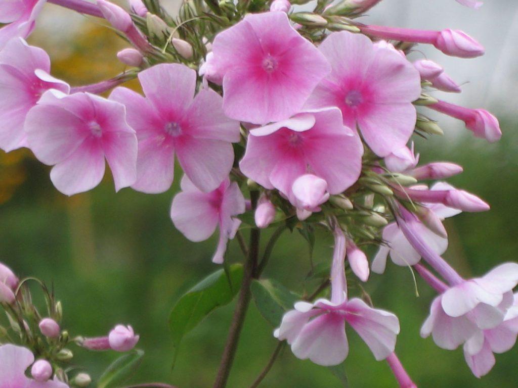 Eigenzüchtung Bio Flammenblume Hoher Stauden Phlox paniculata 'Himbeersahne' per Bio Pflanzen Versand online im Web Shop nach München bestellen