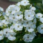 Bio Flammenblume Hoher Stauden Phlox paniculata 'Jade' Bio Pflanzenversand Forssman nahe München