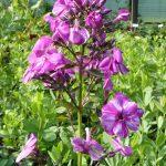 Bio Flammenblume Hoher Stauden Phlox paniculata 'Lasse' v. Husted-Bendtsen Staudengärtnerei Forssman  Bio Pflanzenversand in Niederbayern