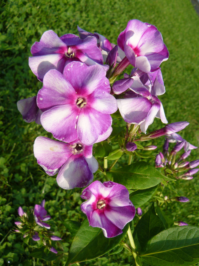 phlox paniculata 39 margri 39 staudeng rtnerei forssman. Black Bedroom Furniture Sets. Home Design Ideas