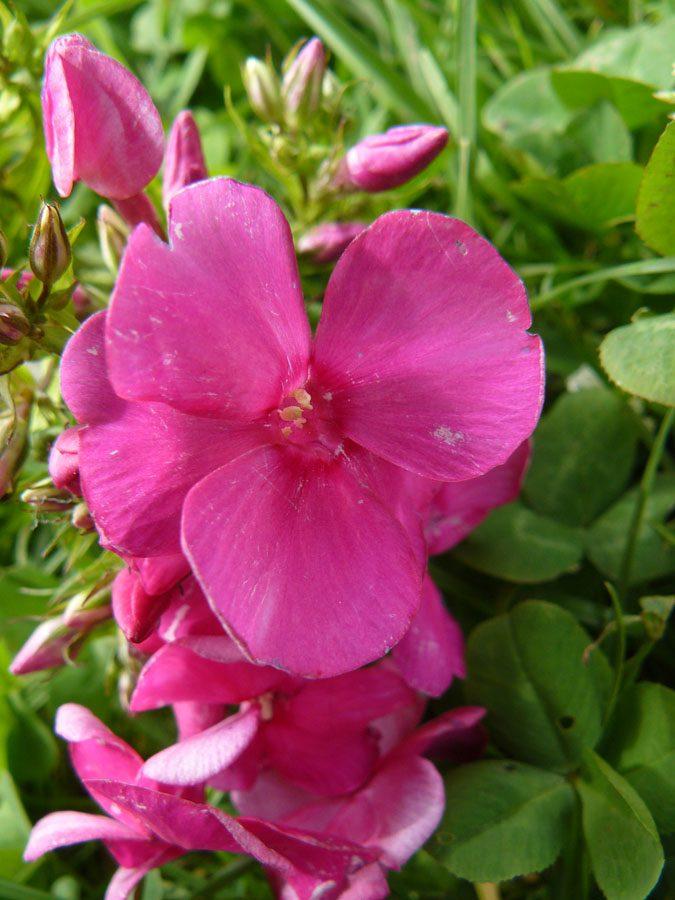 Bio Estnische Flammenblume Hoher Stauden Phlox paniculata 'Pangodi Punane' per Web Shop im Bio Pflanzen Versand Forssman online nach München bestellen
