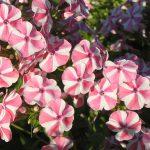 Bio Flammenblume Hoher Stauden-Phlox paniculata 'Schwerin's Flagge' Bio Pflanzenversand in Niederbayern
