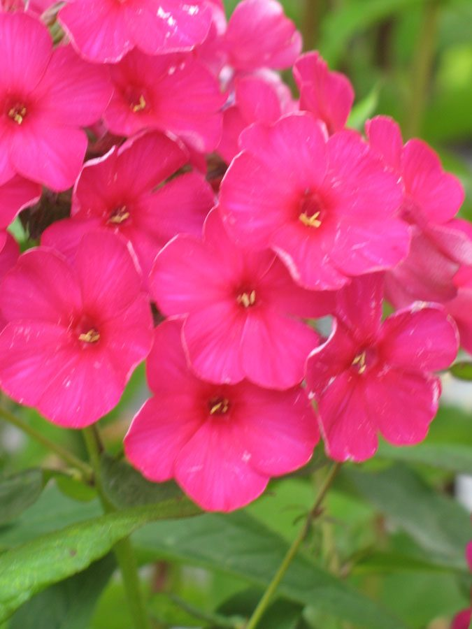 phlox paniculata 39 septemberglut 39 staudeng rtnerei forssman. Black Bedroom Furniture Sets. Home Design Ideas