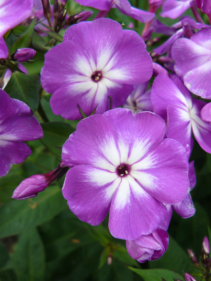 phlox paniculata 39 wilhelm kesselring 39 staudeng rtnerei forssman. Black Bedroom Furniture Sets. Home Design Ideas