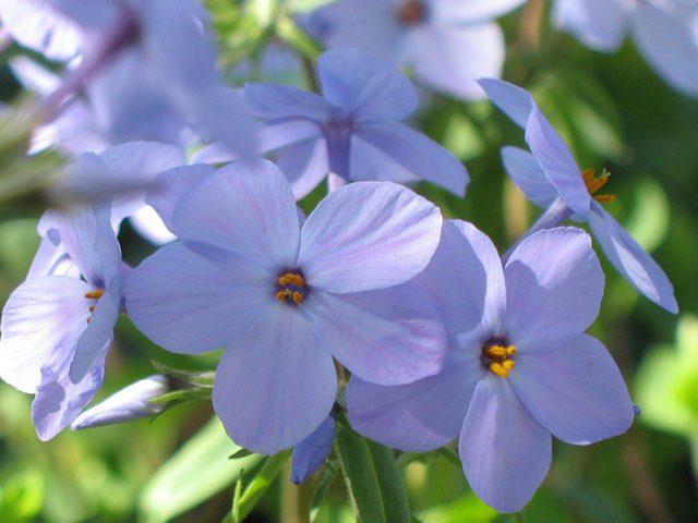 Bio Wander-Phlox stolonifera 'Blue Ridge' fast 300 Sorten Phlox im Bio-Pflanzen-Versand online bestellen.
