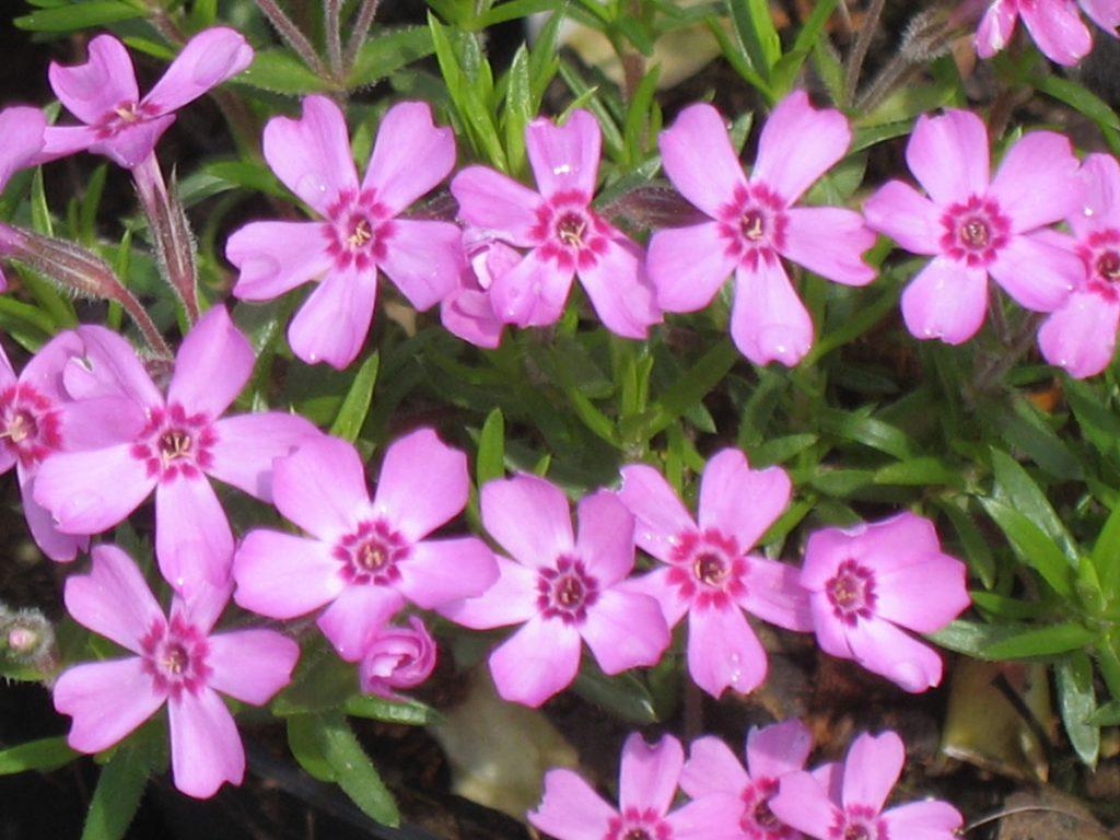 Bio Polster-Phlox subulata x douglasii 'Zwergenteppich' wählen Sie den Bio-Phlox Ihrer Wahl im Online Pflanzen-Versand aus fast 300 Sorten.