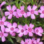 Bio Polster-Phlox subulata x douglasii 'Zwergenteppich' Bio Pflanzenversand in Niederbayern