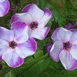 Bio Phlox 'Swirly Burly' Bio Pflanzenversand in Niederbayern