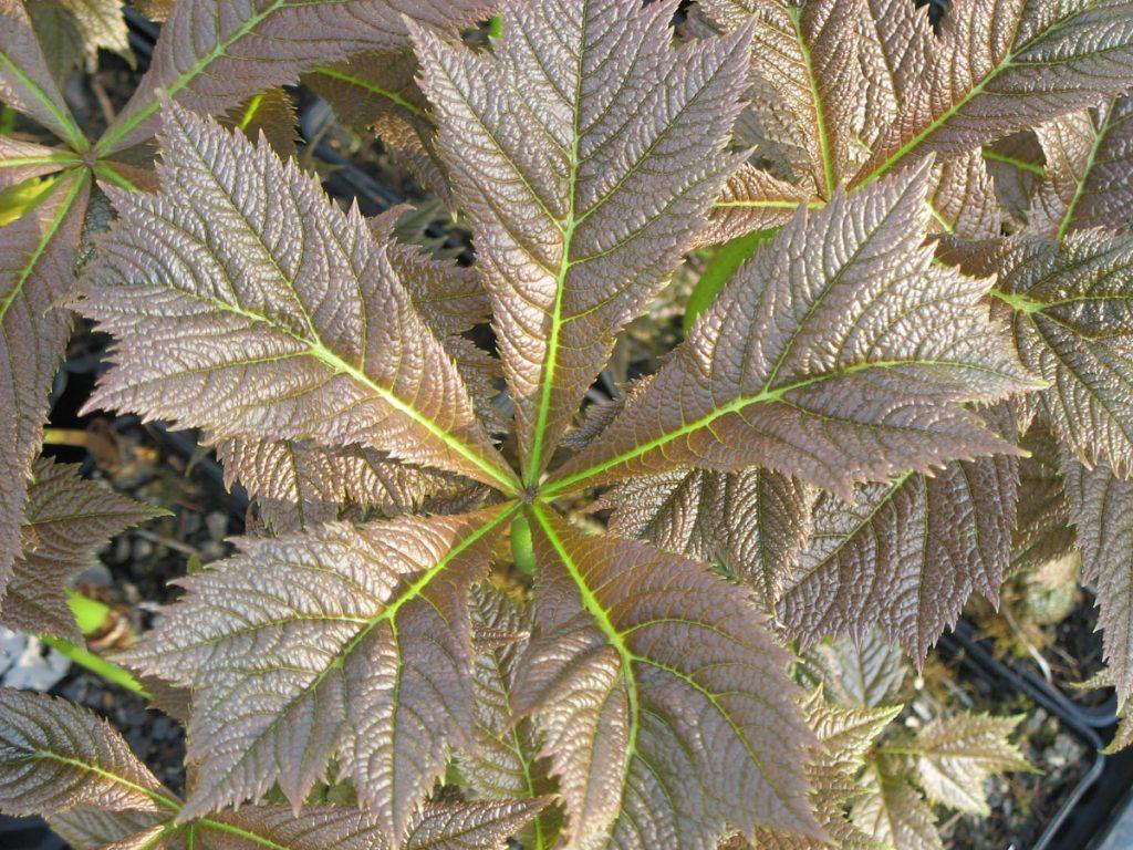 Bio Gestieltblättriges Schaublatt Rodgersia podophylla 'Rotlaub' Bio Pflanzen Versand Stauden Forssman in Niederbayern