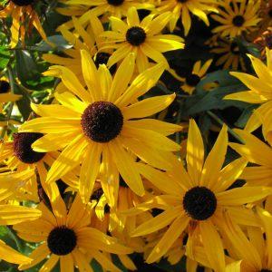 Bio Sonnenhut Rudbeckia fulgida var. sullivantii 'Goldsturm' sehr beliebter Sonnenhut/ goldgelb, schwarze Mitte/ buschiger, horsteiger Wuchs/ große Strahlenblüten mit halbkugeliger Blütenscheibe