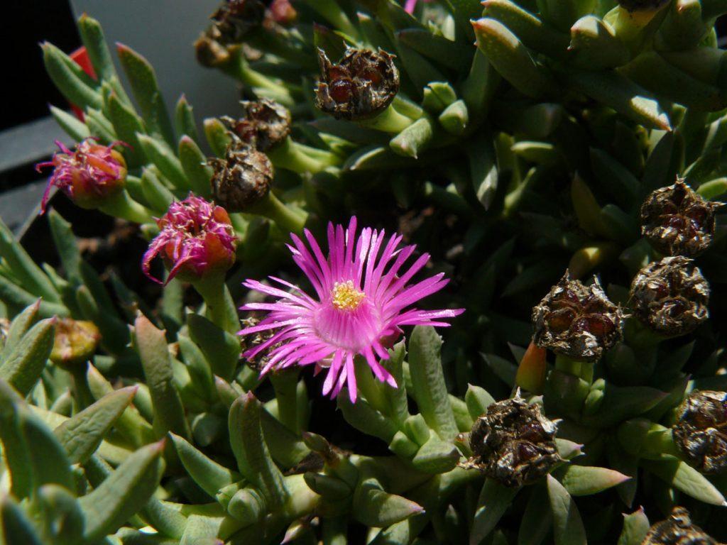 Bio Mittagsblume Ruschia pulvinaris Bio Pflanzen Versand in Niederbayern Stauden Forssman