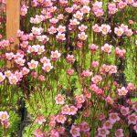 Bio Steinbrech Saxifraga hyb. 'Swantje' Bio Pflanzen Versand Stauden Forssman in Niederbayern
