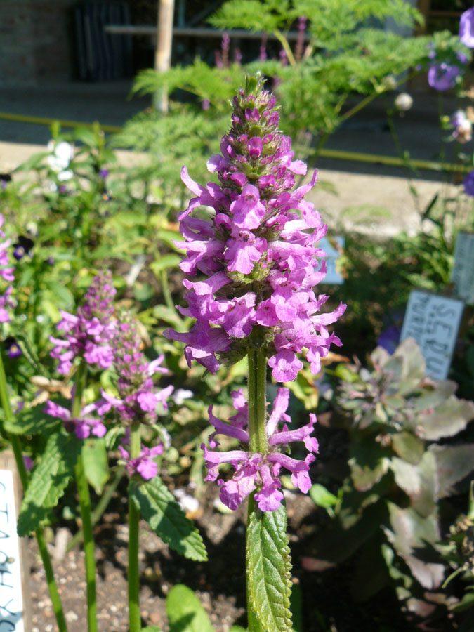 Bio Dichtblütiger Ziest Stachys monnieri 'Hummelo' purpurviolett/ straff aufrechte, schöne Blütenkerzen/ reichblütig/ wüchsig und robust/ halbkugelige Horste