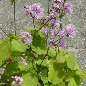 Bio Wiesenraute Thalictrum actaefolium 'Perfume Star' zarte, violette Strahlenblüten Forssman Bio Stauden Versand