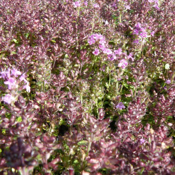Bio Roter Sand Thymian Thymus serpyllum 'Coccineus' karminrot/ flache Matten/ Blätter dunkelgrün, im Winter rot/ Stauden Forssman
