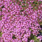 Bio Roter Sand Thymian Thymus serpyllum 'Coccineus'  Bio Stauden Versand Forssman aus Niederbayern
