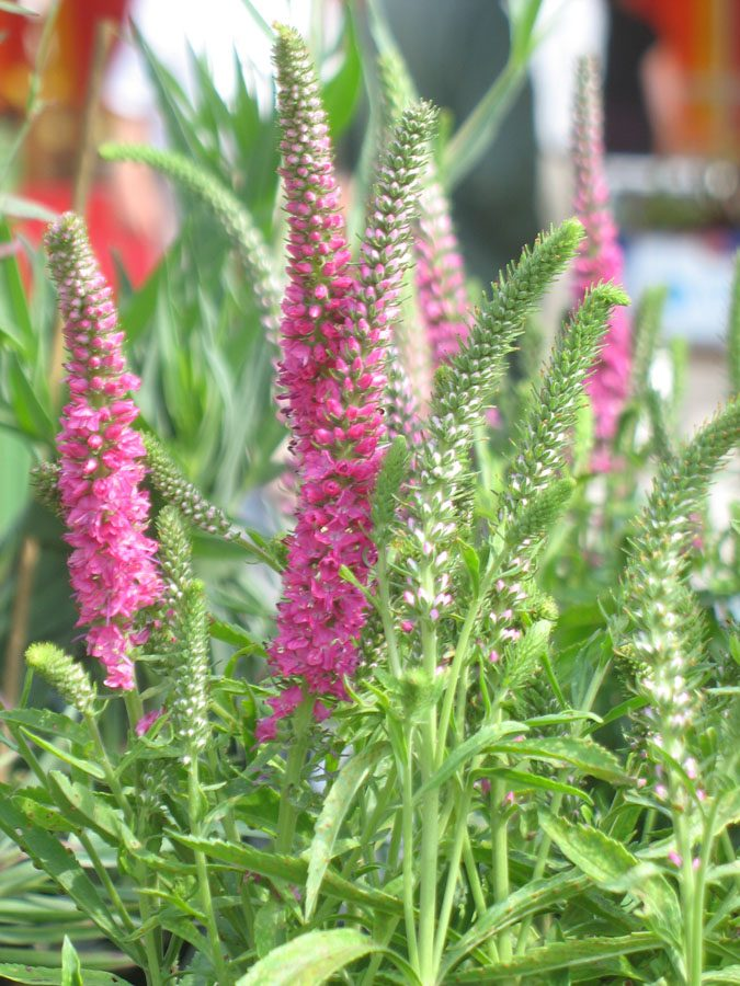 Bio Kerzen Ehrenpreis Veronica spicata 'Rotfuchs' purpurrosa/ stark leuchtende Blütenfarbe/Stauden Forssman
