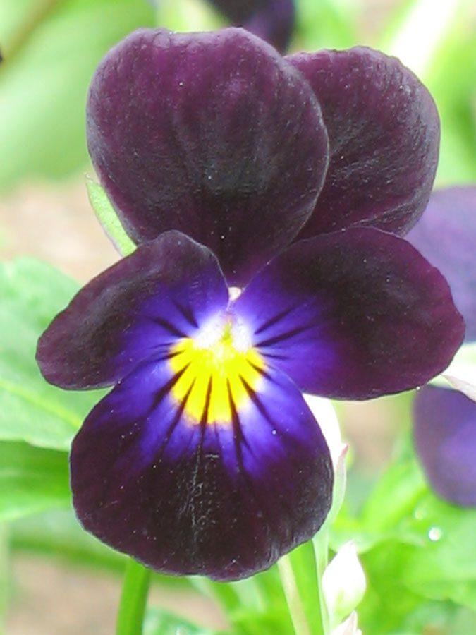 Bio Horn Veilchen Viola cornuta 'Black Bowles' schwarzviolett/ generativ vermehrte, sehr kleinblütige Sorte/sät sich gut aus/ wüchsig