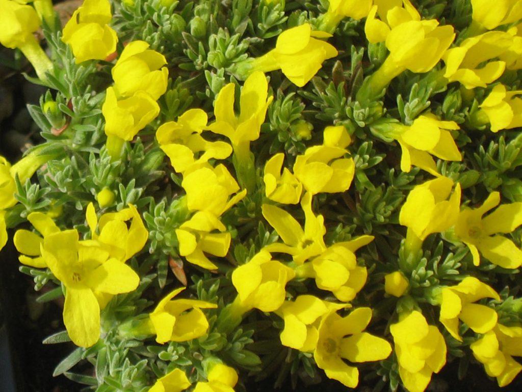 Bio Goldprimel Vitaliana primuliflora entzückende goldgelbe, primelähnliche Blüten auf nadelig-grauen Blattpolstern/ für volle Sonne auf mineralischem, kalkhaltigem Boden