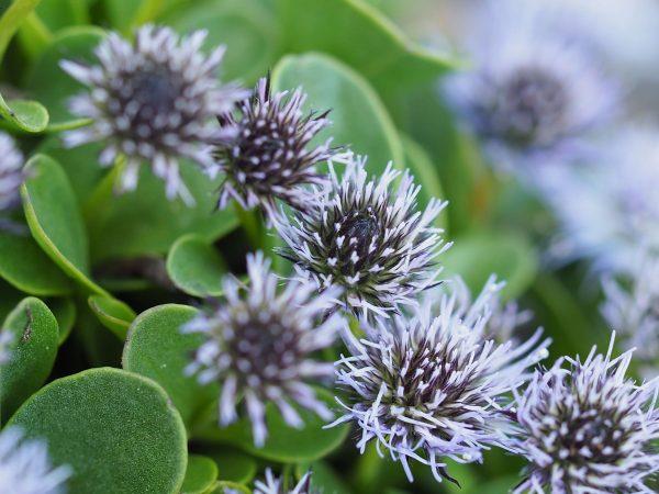Bio Kugelblume Globularia bellidifolia Bio Stauden kaufen im Online Versand Forssman