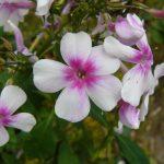 Bio Flammenblume Hoher Stauden Phlox paniculata 'Wildfang' Bio Pflanzen Versand Forssman Niederbayern