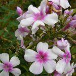 Bio Flammenblume Hoher Stauden Phlox paniculata 'Wildfang'  Bio Pflanzen Versand Stauden Forssman nahe München