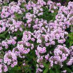 Bio Breitblatt Phlox amplifolia 'Apanatschi' Bio Stauden Versand Forssman Niederbayern