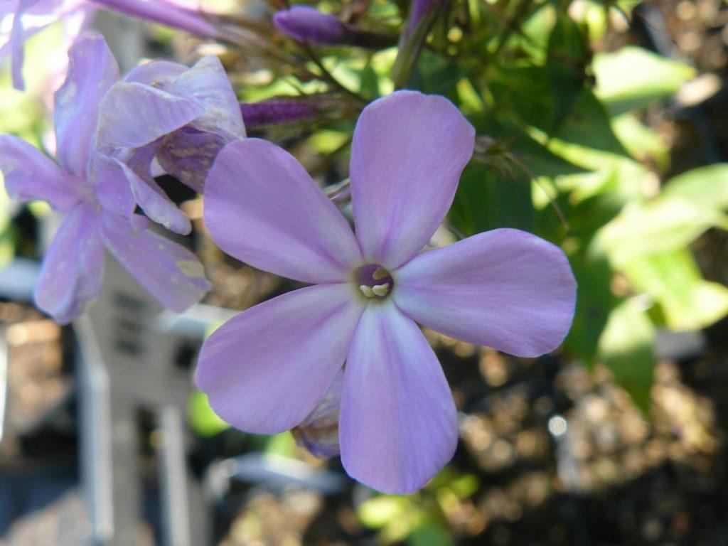 Bio Frühsommer Phlox x arendsii 'Luc's Lilac' Online Pflanzen Versand Forssman mit Web Shop