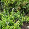 Phlox idahonis Stauden Forssman Bio Pflanzen Versand mit Online Shop