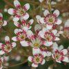 Saxifraga x cotyledon 'Southside Seedling'   Staudengärtnerei Forssman Beste Bio Stauden aus Bayern