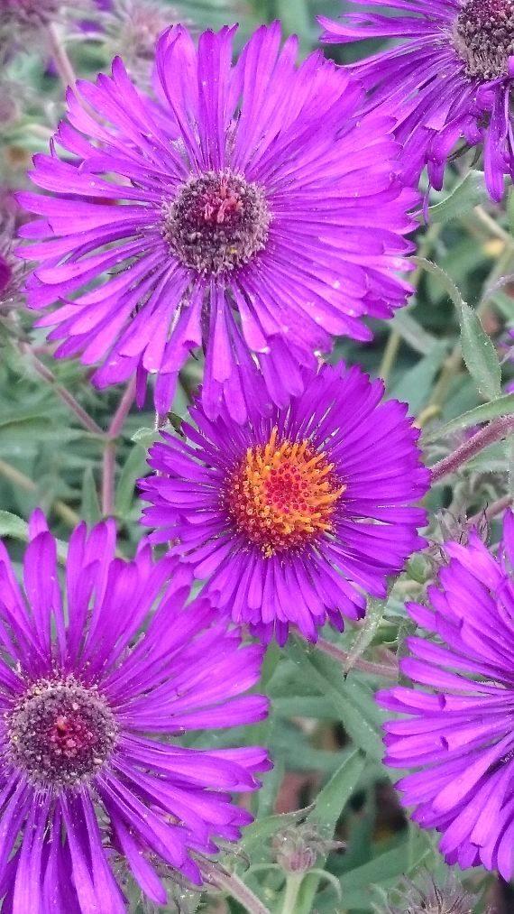 Bio Rauhblatt Aster novae-angliae 'Violetta' Forssman Bio Blumen Versand aus Niederbayern