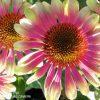 Bio Purpur Schein Sonnenhut Echinacea purpurea 'Green Twister' Forssman Bio Stauden kaufen im Online Versand