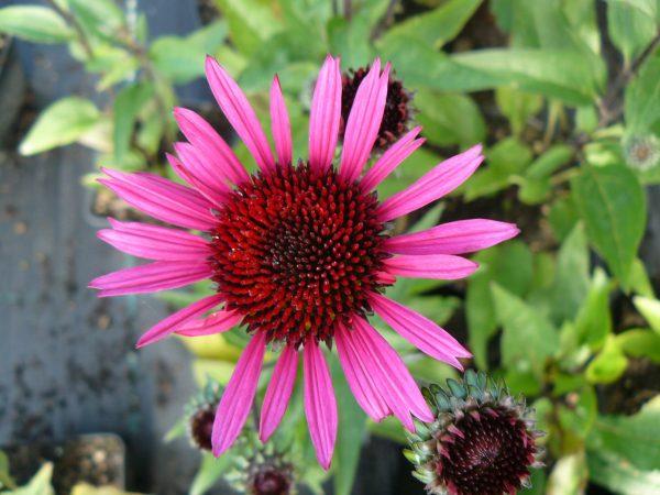 Bio Purpur Schein Sonnenhut Echinacea purpurea 'Fatal Attraction' Forssman Bio Stauden Versand in Niederbayern