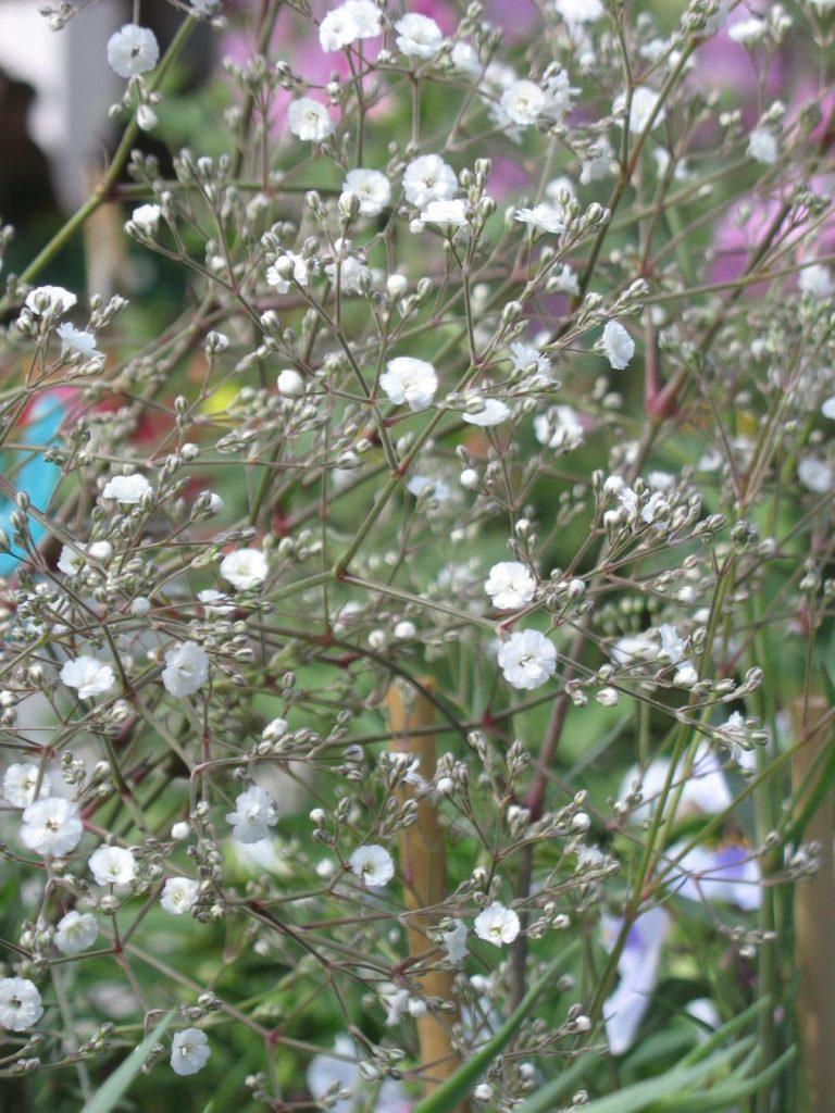 Bio Teppich Schleierkraut Gypsophila repens 'Alba' Stauden Forssman Bio Pflanzen Versand aus Niederbayern