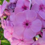 Bio Breitblatt Phlox amplifolia 'Minnehaha' Gärtnerei Forssman Beste Bio Stauden aus Bayern
