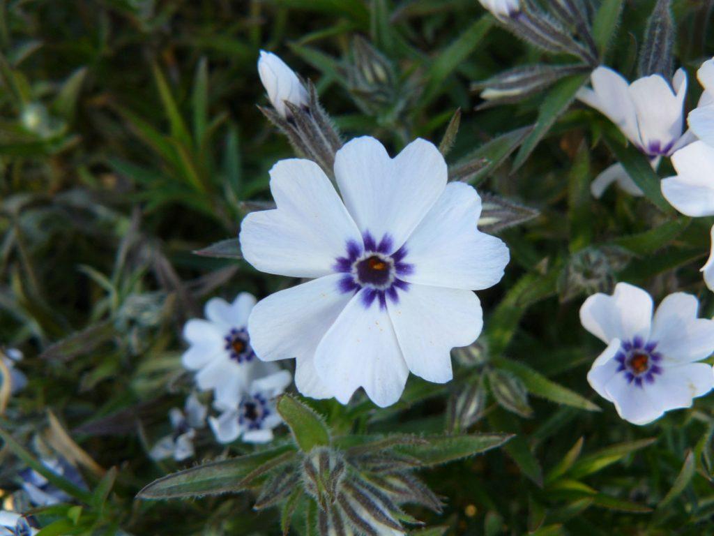 Bio Polster-Phlox subulata 'Bavaria' Bio Pflanzenversand in Niederbayern