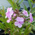 Flammenblume  Phlox maculata 'Alpha' Bio Pflanzen Versand Stauden Forssman