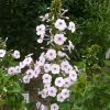 Bio Wiesen-Phlox maculata 'Charlotte zur Linden' Stauden Forssman Bio Pflanzenversand in Niederbayern
