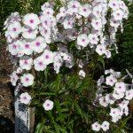 Bio Wiesen Phlox maculata 'Reine du Jour' Stauden Forssman Bio Pflanzenversand in Niederbayern