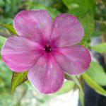 Flammenblume Phlox paniculata 'Anna Karenina' Bio Pflanzen Versand Stauden Forssman