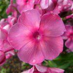 Flammenblume Phlox paniculata 'Anna Karenina' Pflanzen Versand Forssman Beste Bio Stauden aus Bayern