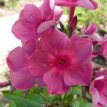 Flammenblume Phlox paniculata 'Anna Karenina' Pflanzen Versand Forssman Beste Bio Stauden aus Bayernna_17-5