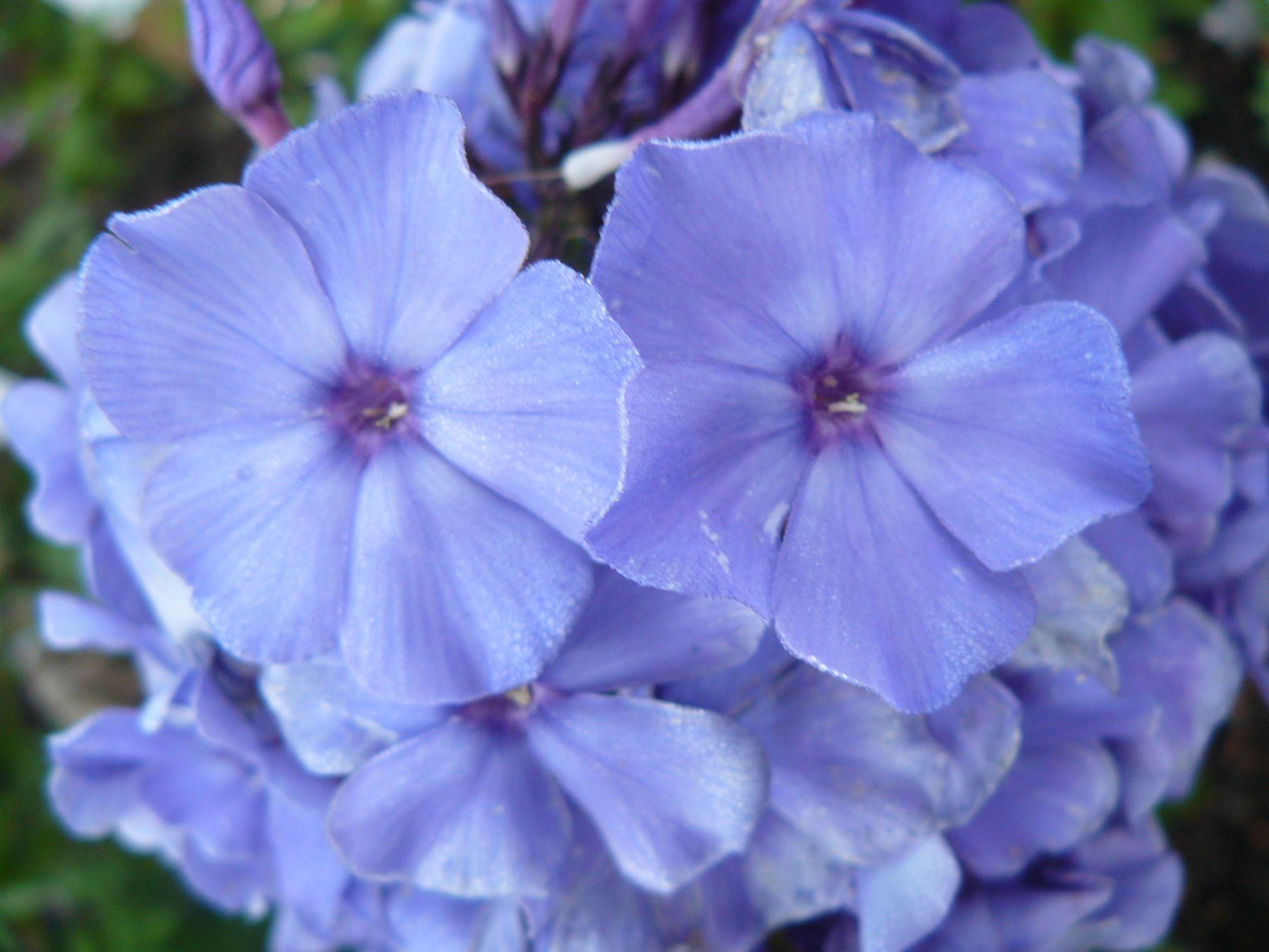 phlox paniculata 39 blauer morgen 39 staudeng rtnerei forssman. Black Bedroom Furniture Sets. Home Design Ideas