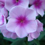 Bio Flammenblume Hoher Stauden-Phlox paniculata 'Bright Eyes' Bio Pflanzenversand in Niederbayern