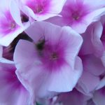 Bio Flammenblume Hoher Stauden-Phlox paniculata 'Bright Eyes' Gärtnerei Forssman Beste Bio Stauden aus Bayern