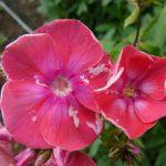 Bio Flammenblume Hoher Stauden Phlox paniculata 'Feuerball' Bio Pflanzenversand in Niederbayern Stauden Forssman