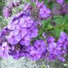 Hohe Flammenblume Phlox paniculata 'Iris' Bio Stauden Forssman