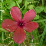 Bio Flammenblume Phlox paniculata 'Ivan-Zarya' Bio Pflanzen Versand Stauden Forssman