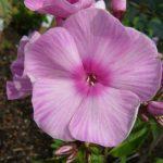 Bio Flammenblume Phlox paniculata 'Miss Olga' Stauden Forssman