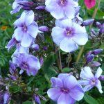 Flammenblume Hoher Stauden Phlox paniculata 'Parmaveilchen' per Bio Pflanzen Versand online im Web Shop nach München bestellen